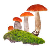 Four orange-cap boletus in green moss isolated on white Stock Images