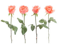Four orange Roses Stock Images