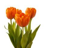 Four orange tulips Royalty Free Stock Photography
