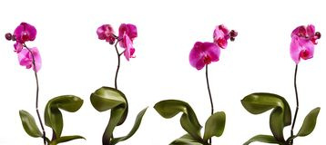 Four orchid. Four pink orchid isolated in different position stock images