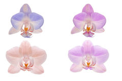Four orchid flowers on a white background Royalty Free Stock Image