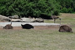 Four ostriches resting royalty free stock photos