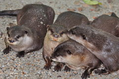 Four otters Stock Photos