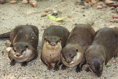 Four Otters. Otters are semi-aquatic (or in one case aquatic) fish-eating mammals. The otter subfamily Lutrinae forms part of the family Mustelidae, which also Stock Photos
