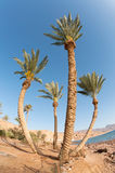 Four palm trees. Wide angle view of four palm trees on egyptian coastline Royalty Free Stock Photo