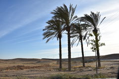 Four palm trees in the Negev desert, Israel Royalty Free Stock Photos