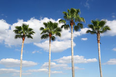 Four palm trees in a row Royalty Free Stock Images