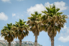Four palms Royalty Free Stock Image