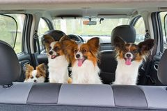 Four Papillon in car. Four dogs of breed Papillon inside a car royalty free stock photography
