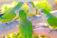 Four parrots are fed from a hand on Fuerteventura, Spain. Four green parrots are fed from a hand on the Canary Island of Fuerteventura, Spain Royalty Free Stock Photo