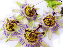 Four passion flowers Royalty Free Stock Photos