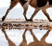 Springer Spaniel Beach Walk. Once the tide had gone out on my home beach some puddles remained - then it was just a waiting game for my faithful model to walk Royalty Free Stock Photo