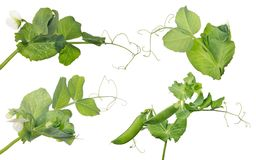 Four pea stems with flower and pods Stock Images