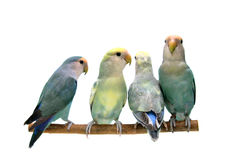 Four Peach-faced Lovebirds isolated on white. Four Peach-faced Lovebirds (Agapornis roseicollis motley clarified blue and blue morphs) on the white background Stock Images