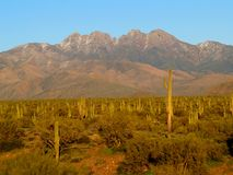 Four Peaks and Stands of Saguaro Cactus Royalty Free Stock Photography
