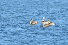 Four Pelicans in the middle of the lake. Four Brown Pelicans, one breeding in the middle of the lake royalty free stock photography