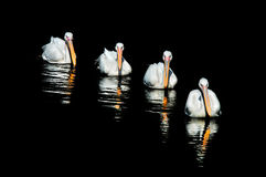 Four pelicans in a row. Four pelicans swim in a row on black waters Stock Photo