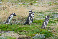 Four penguins on field Royalty Free Stock Photos