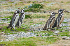 Four penguins walking in field Royalty Free Stock Photo