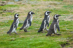 Four penguins walking on field Royalty Free Stock Photos