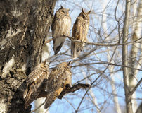 Four perching Long-eared Owls in spring Royalty Free Stock Images
