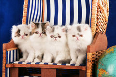 Four persian kitten sitting in a deck chair Royalty Free Stock Images