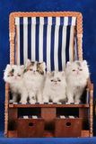 Four persian kitten sitting in a deck chair Stock Photography