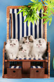 Four persian kitten sitting in a deck chair Stock Image