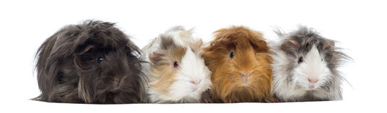 Four Peruvian Guinea Pigs in a row, isolated Royalty Free Stock Photo