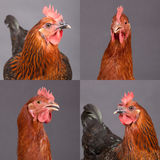 Four pictures of beautiful chickens. Four pictures of two beautiful chickens stock photo