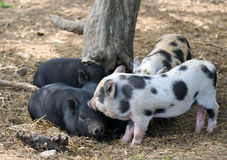 Four piglets resting under tree Stock Photo