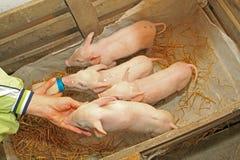 Four piglets Royalty Free Stock Photos