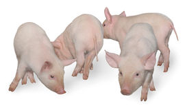 Four pigs. Who are represented on a white background Royalty Free Stock Photography