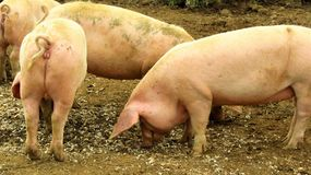 Four Pigs. 4 dirty pink pigs foraging for food Stock Photo