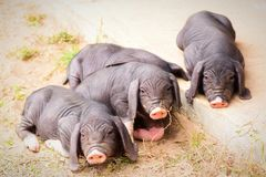Four pigs Royalty Free Stock Images
