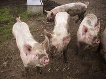 Four pink pigs Stock Photos