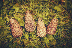 Four pine cones on ground grass, above top view Stock Photo