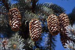 Four Pinecones. 4 pinecones on a pine tree photographed in the direct sunlight Stock Image