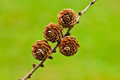 Four pinecones Stock Photography