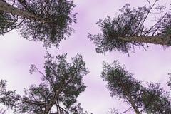 Four pines Stock Photo