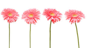 Four pink daisy Royalty Free Stock Photos