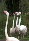 Four pink Flamengos. Four birds in the grass Stock Photos