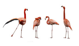 Four pink flamingo birds. Isolated on white Royalty Free Stock Photos
