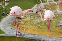 Four Pink flamingos Quarreling. Two Couples of Pink flamingo Quarreling near the water with each other Royalty Free Stock Photos