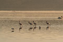 Four pink flamingos searches for mollusks and fish in the waters of the lake. Lake Nakuru, KENYA. royalty free stock image