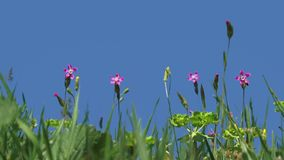 Four Pink Flower stock footage
