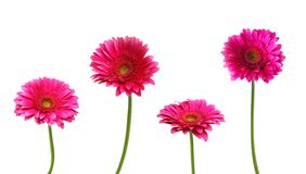 Four pink Gerber flowers Stock Photography