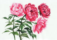 Four pink peonies Stock Photos