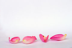 Four pink rose petals. Detail of Romantic empty grey white serene background with four pink rose leaves with empty room copy space Stock Image