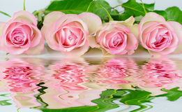 Four pink roses. Row of four pink roses reflected in the water surface with small waves royalty free stock image